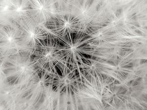 Dandelion 2 by Jim Christensen