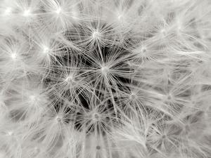 Dandelion 2 by Jim Christensen