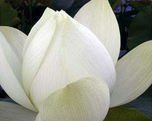 Delicate Lotus IV by Jim Christensen