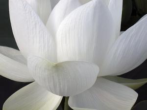 Delicate Lotus V by Jim Christensen