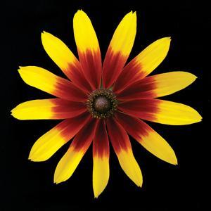 Flower on Black II by Jim Christensen