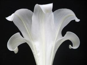 Lily on Black III by Jim Christensen