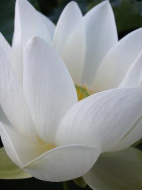 Lotus by Jim Christensen