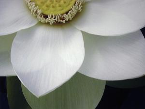 Macro Lotus by Jim Christensen