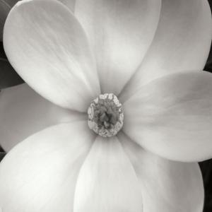 Magnolia IV by Jim Christensen