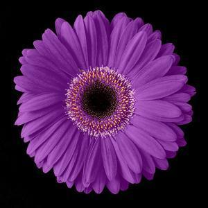 Purple Gerbera Daisy by Jim Christensen