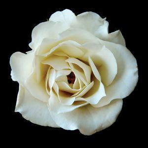 White Rose II by Jim Christensen