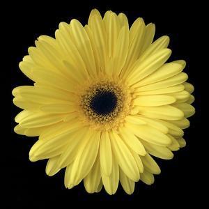 Yellow Gerbera Daisy by Jim Christensen