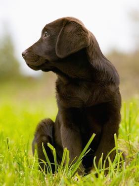 Chocolate Lab Puppy by Jim Craigmyle