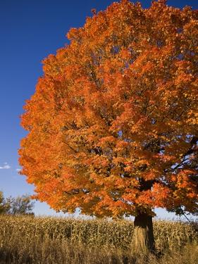 Maple Tree Beside Cornfield by Jim Craigmyle