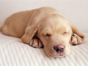 Sleeping Labrador Puppy by Jim Craigmyle