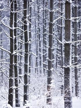 Snow-covered Trees in Forest by Jim Craigmyle