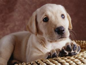 Yellow Lab Puppy in Basket by Jim Craigmyle