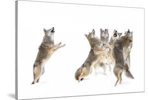 The Choir Coyotes by Jim Cumming