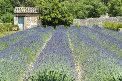 Field of lavender, St. Paul de Mausole, St. Remy, Provence, France