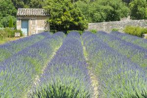 Field of lavender, St. Paul de Mausole, St. Remy, Provence, France by Jim Engelbrecht