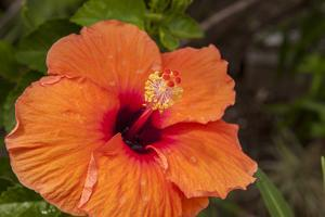Hibiscus Flower, Cozumel, Mexico by Jim Engelbrecht