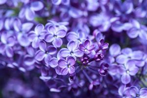 Massachusetts, Boston, Arnold Arboretum, Purple Lilac Tree by Jim Engelbrecht