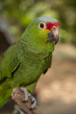 Roatan Butterfly Garden, Red Lored Parrot, Tropical Bird, Honduras by Jim Engelbrecht