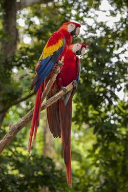 Roatan Butterfly Garden, Scarlet Macaw, Parrot, Tropical Bird, Honduras by Jim Engelbrecht