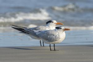Royal Tern at New Smyna Beach, Florida, USA by Jim Engelbrecht