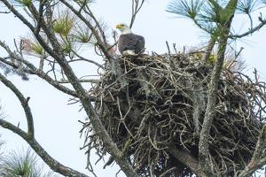 USA, Florida, Daytona, Bald Eagle on Nest by Jim Engelbrecht