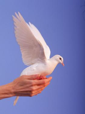 Adult Hand with White Dove by Jim McGuire