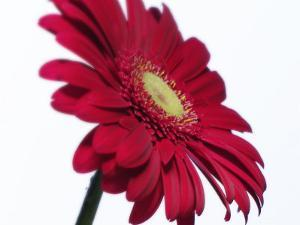 Red Flower on White Background by Jim McGuire