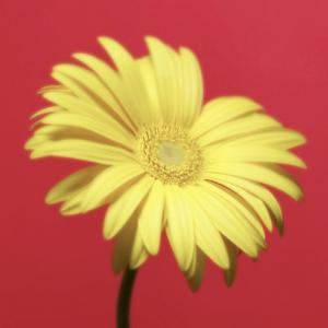 Yellow Flower on Red Background by Jim McGuire