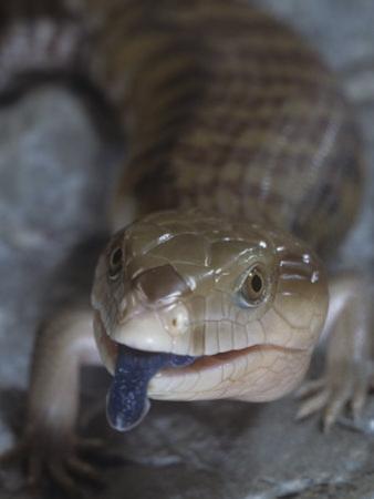 Northern Blue-Tongued Skink, Tiliqua Scincoides Intermedia, Australia