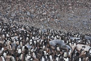 A Huge Colony of Adelie Penguins by Jim Richardson