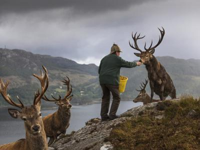 A man who manages the deer population at Reraig Forest feeds stags to spur antler growth. by Jim Richardson