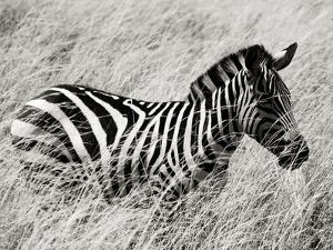 A Plains Zebra Wades Through the Thick and High Grasses of Africa by Jim Richardson