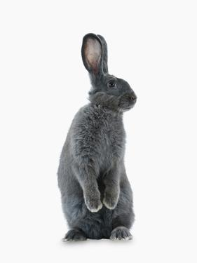 A Rare Silver Fox Heirloom Rabbit by Jim Richardson