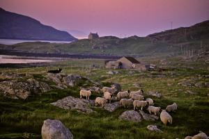 A Sheepdog Guards Its Flock Grazing on a Rock Filled Field by Jim Richardson