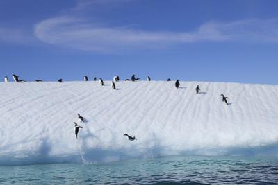 Adelie Penguins on a Frozen Slope by Jim Richardson