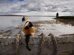 Cat Is Perched on a Wall, Overlooking the Bay in Shapinsay by Jim Richardson