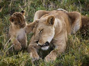 Cubs Play with a Lioness by Jim Richardson