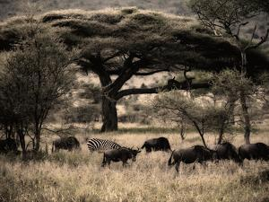 Herds of Animals Graze in the Serengeti Plains by Jim Richardson