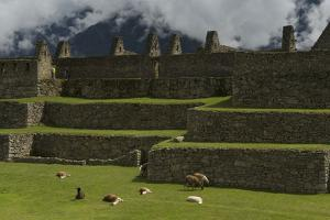 Llamas Graze and Rest on the Terraces of Machu Picchu by Jim Richardson