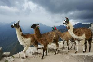 Llamas Stand on a Terrace High in the Andes by Jim Richardson