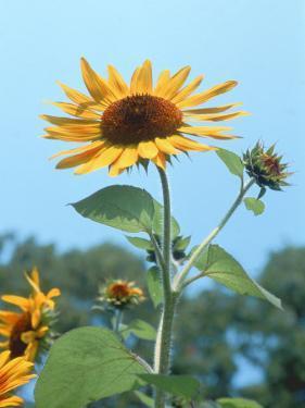 Large Sunflower, Wickford, RI by Jim Schwabel