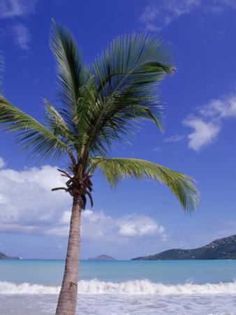 Palm Tree, Magens Bay, St. Thomas, USVI