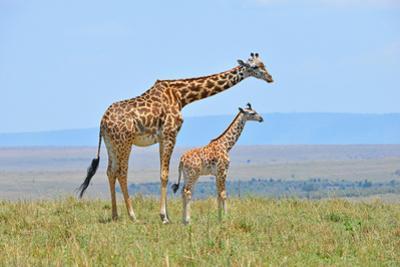 Masai Mara Giraffe by Jim Varley Photography