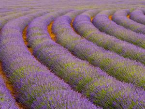 Curved Rows of Lavender near the Village of Sault, Provence, France by Jim Zuckerman