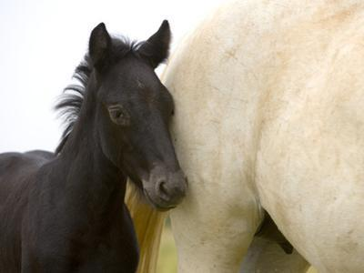 Detail of White Camargue Mother Horse and Black Colt, Provence Region, France by Jim Zuckerman