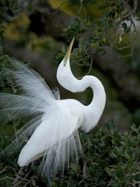 Great Egret Exhibiting Sky Pointing on Nest, St. Augustine, Florida, USA by Jim Zuckerman