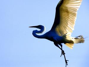 Great Egret in Flight, St. Augustine, Florida, USA by Jim Zuckerman