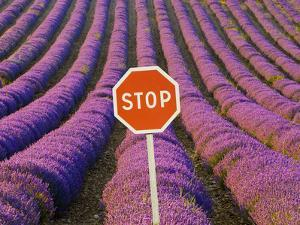 Rows of Lavender and Stop Sign, Provence, France by Jim Zuckerman