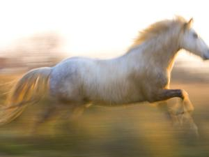 White Camargue Horse Running, Provence, France by Jim Zuckerman